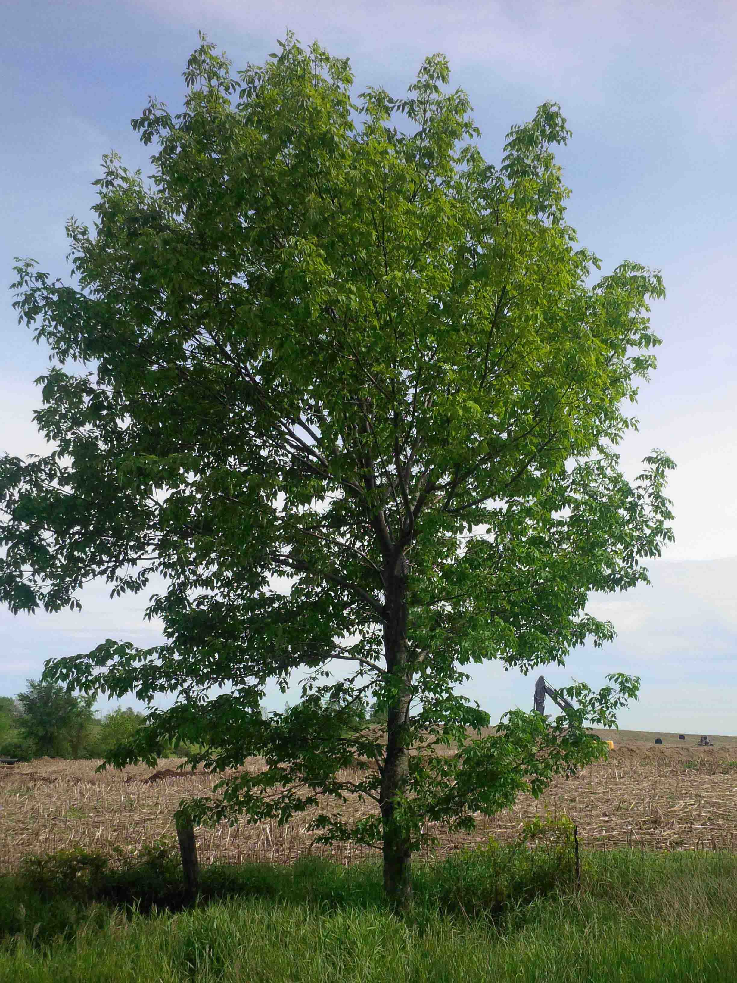 Ash tree types pictures