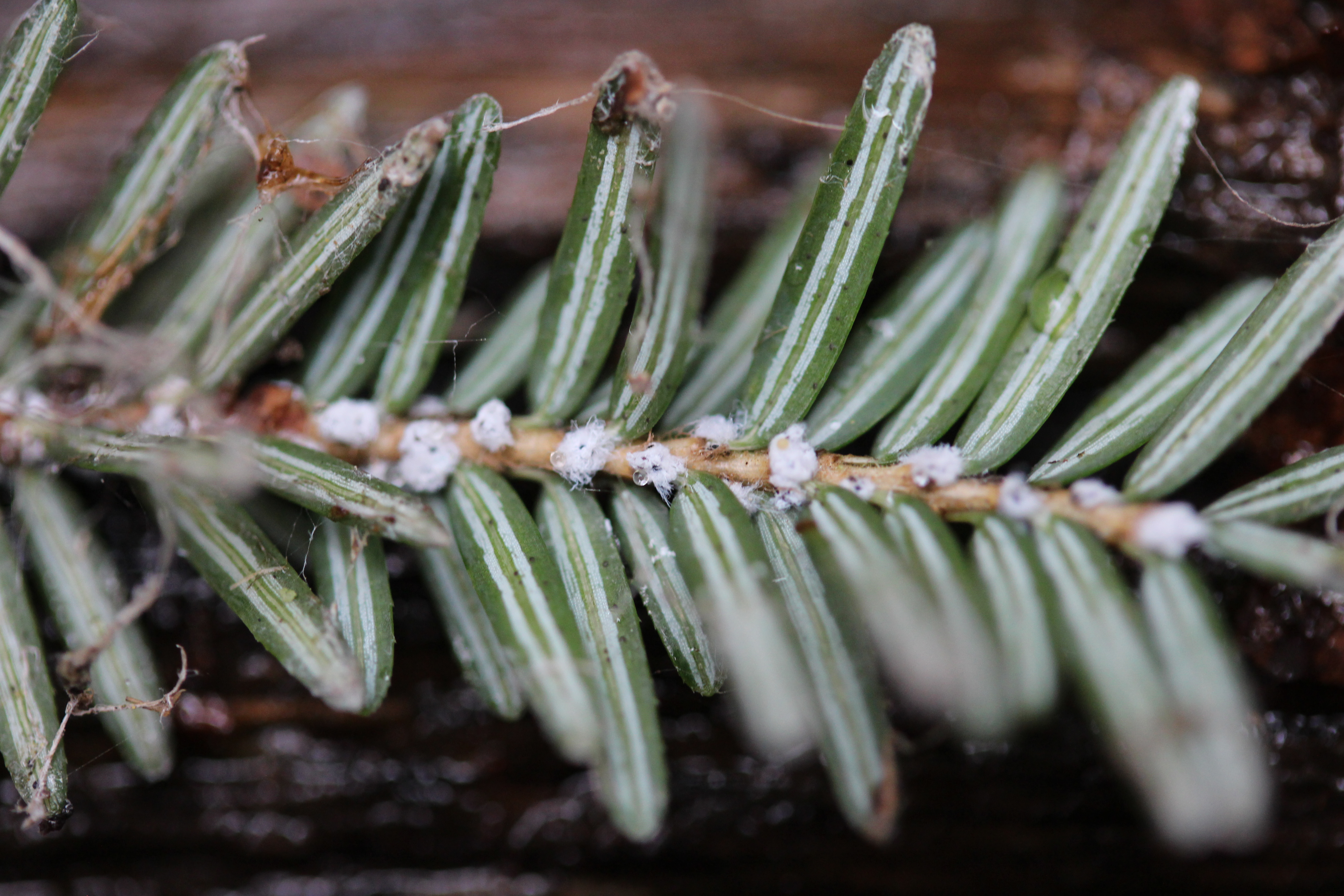 woolly covering on adelgid
