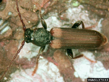 brown spruce longhorn beetle